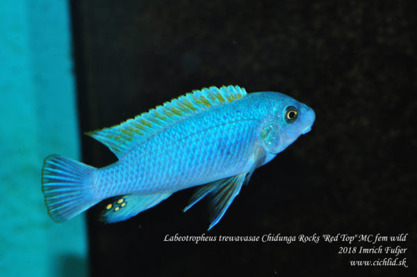 Labeotropheus-trewavasae-Chidongo-Rocks-Red-Top-Ob-fem-1