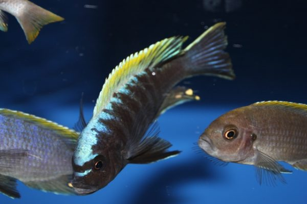 cynotilapia-mbamba-yellow-head-nkhata-bay-1040